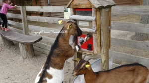 chèvres le pal