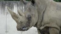 Un rhino un peu féroce ;)
