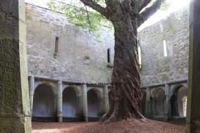arbre cour muckross abbey