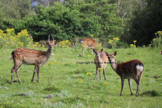 biches cerfs parc killarney