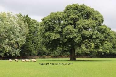 moutons blarney irlande